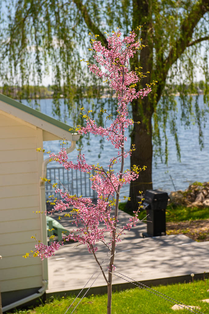 Redbud at Lily Pad Cottage